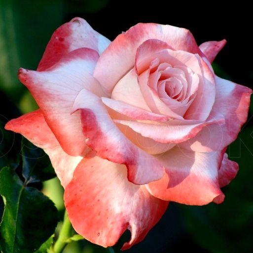 Роза Биг Эппл  (Big Apple) купить, недорого, отзывы