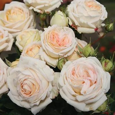 Роза Мадам Анисетт  (Madame Anisette) купить, недорого, отзывы