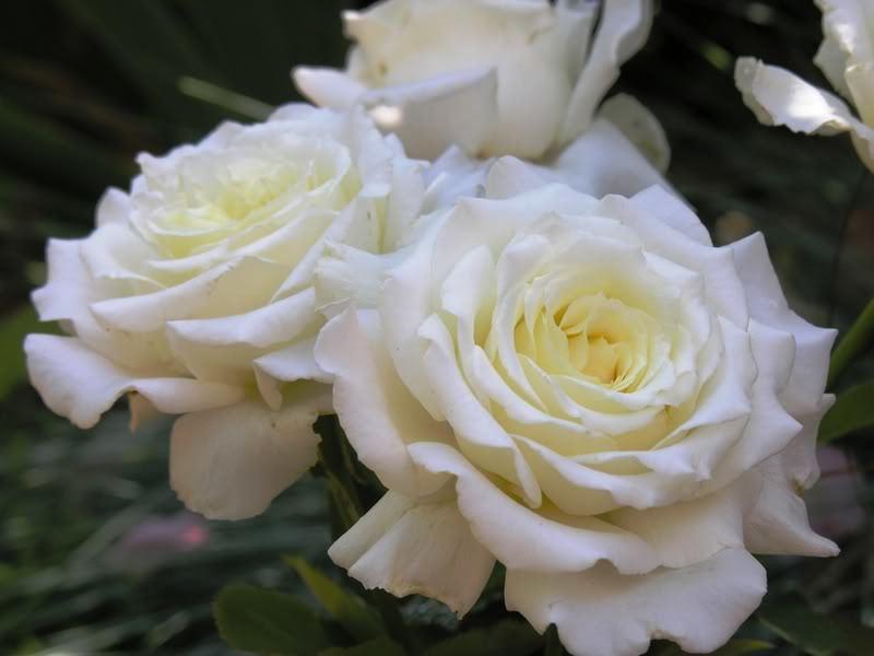 Роза Папа Павел II  (Pape Jean Paul II) купить, недорого, отзывы