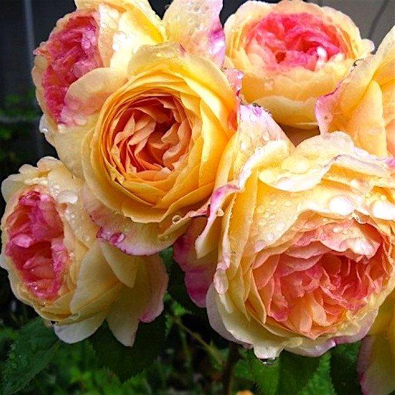 Роза Розоман Жанон  (Rosomane Janon) купить, недорого, отзывы