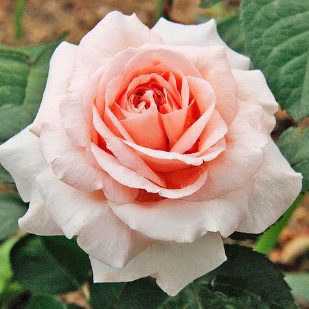 Роза Стиль 800  (Stile 800) купить, недорого, отзывы