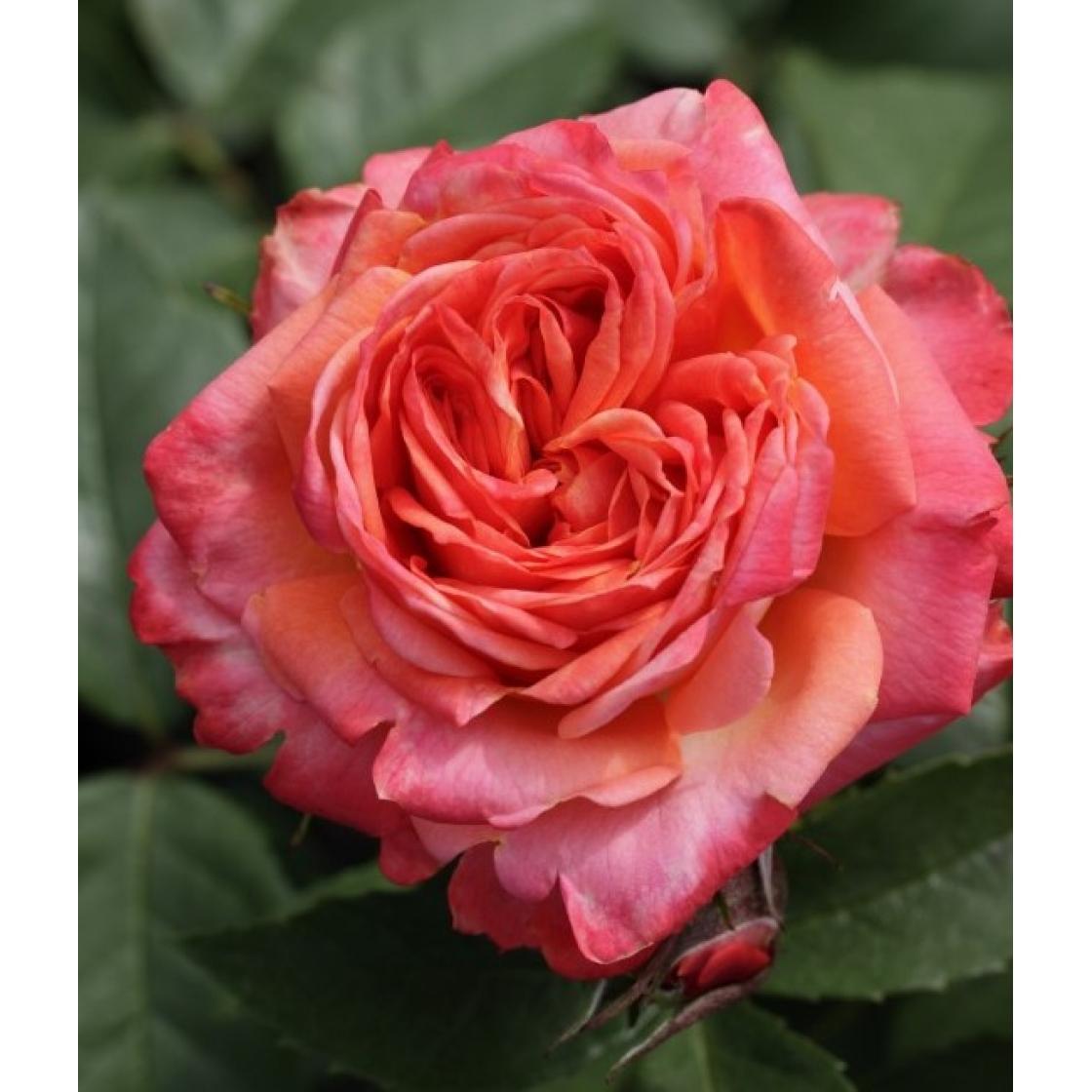 Роза Фэурио  (Feurio) купить, недорого, отзывы