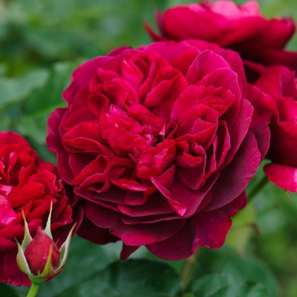 Роза  Дарси Басселл  (DARCEY BUSSELL) купить, недорого, отзывы