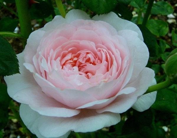 Роза Королева Швеции  (Queen of Sweden ) купить, недорого, отзывы