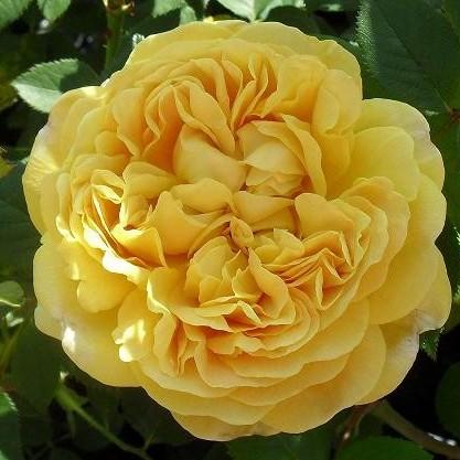 Роза Чарльз Дарвин  (Charles Darwin) купить, недорого, отзывы