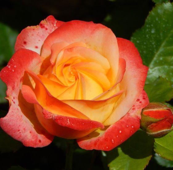 Роза Бредфорд  (Bradford) купить, недорого, отзывы
