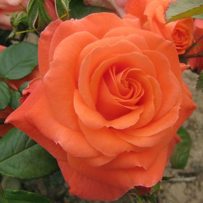 Роза Ньюсфлеш  (Newsflash ) купить, недорого, отзывы