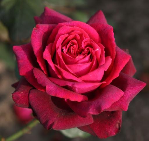 Роза Домейн Дитьер  (Domaine Dittiere ) купить, недорого, отзывы
