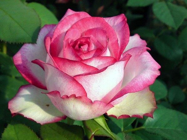 Роза Юлия  (Julia) купить, недорого, отзывы