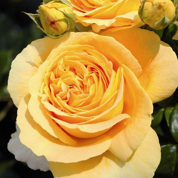 Роза Кендллайт  (Candlelight) купить, недорого, отзывы