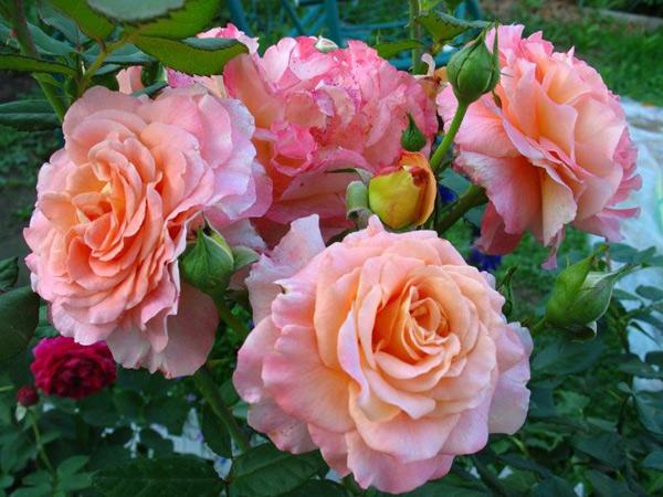 Роза Августа Луиза  (Augusta Luise) купить, недорого, отзывы