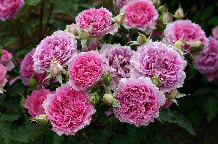 Роза  Шахерезада  (Sheherazade) купить, недорого, отзывы