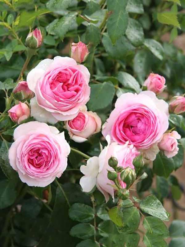 Роза Эден Роуз (Pierre de Ronsard) купить, недорого, отзывы