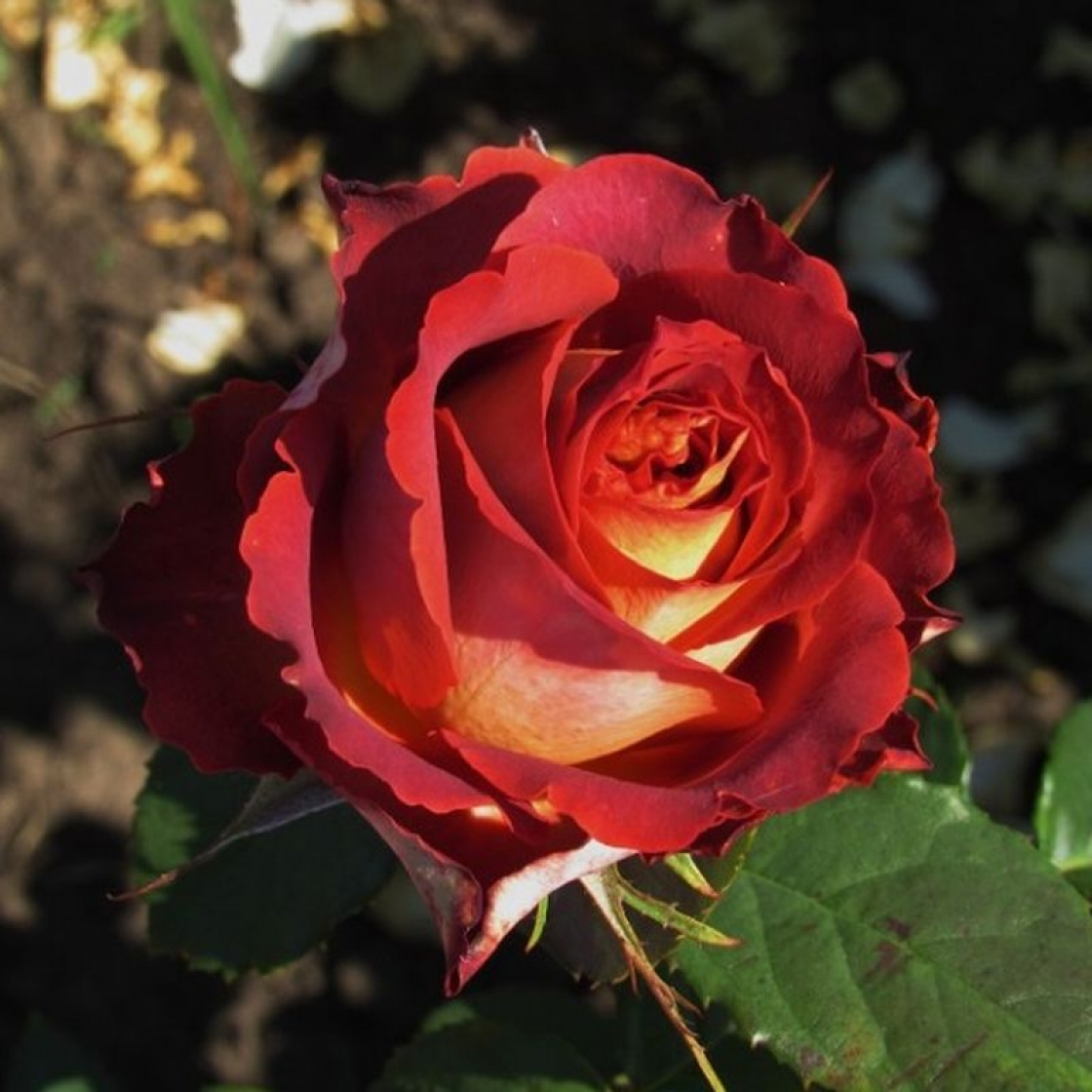 Роза Гинесс (Guinness ) купить, недорого, отзывы