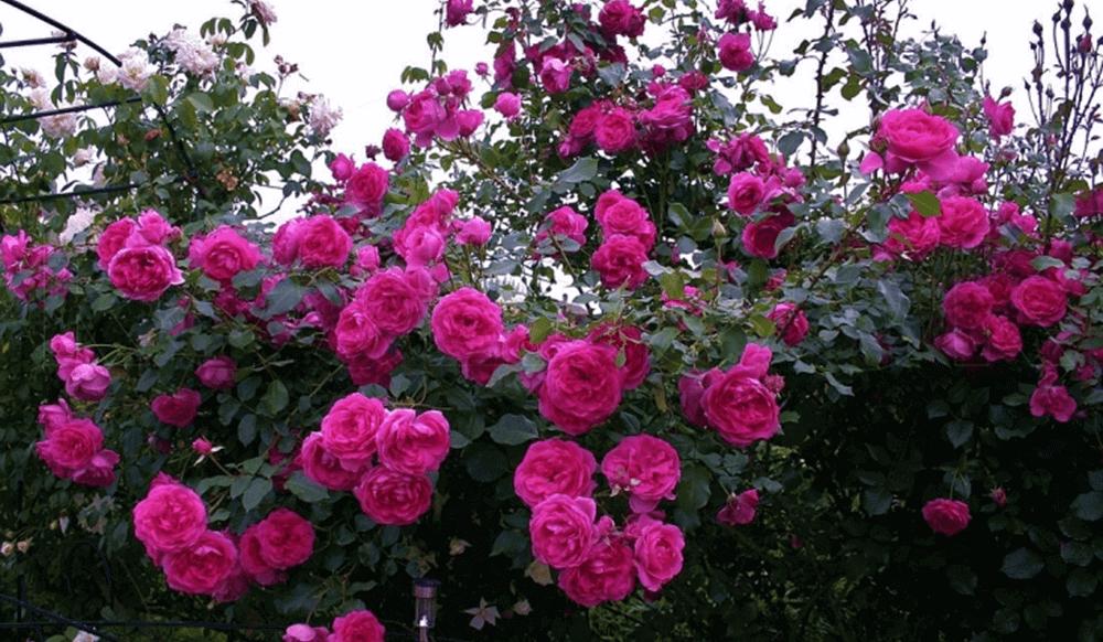 Роза Парад (Parade) купить, недорого, отзывы
