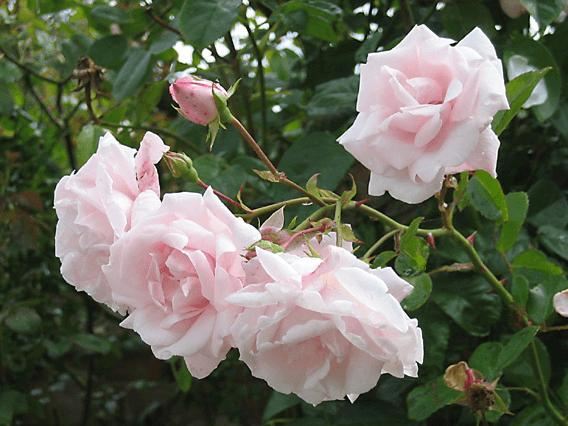 Роза Нью Даун (New Dawn) купить, недорого, отзывы