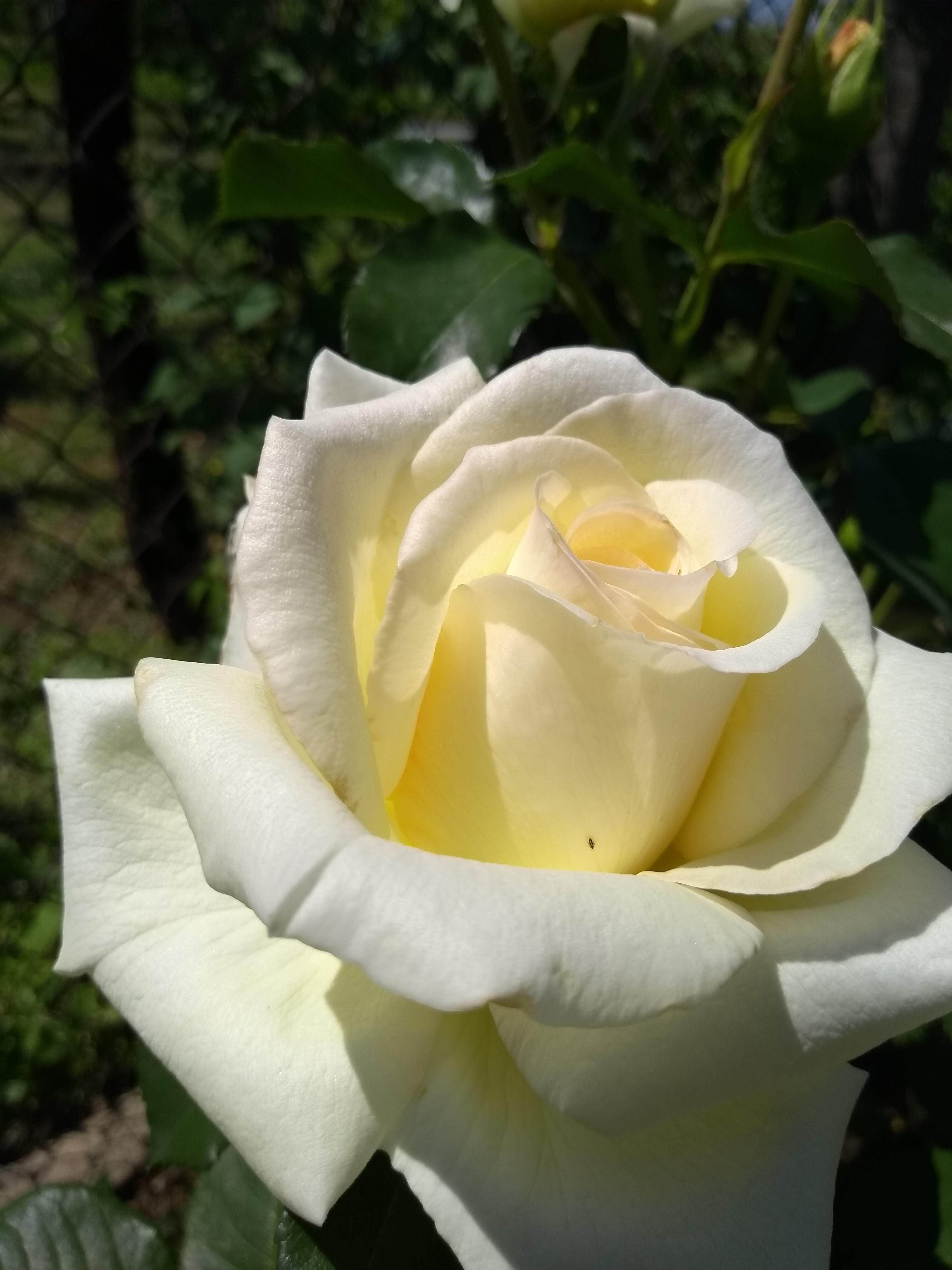 Роза Шнеевальцер (Schneewalzer) купить, недорого, отзывы