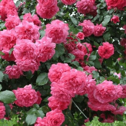 Роза Розариум Ютерсен (Rosarium Uetersen) купить, недорого, отзывы