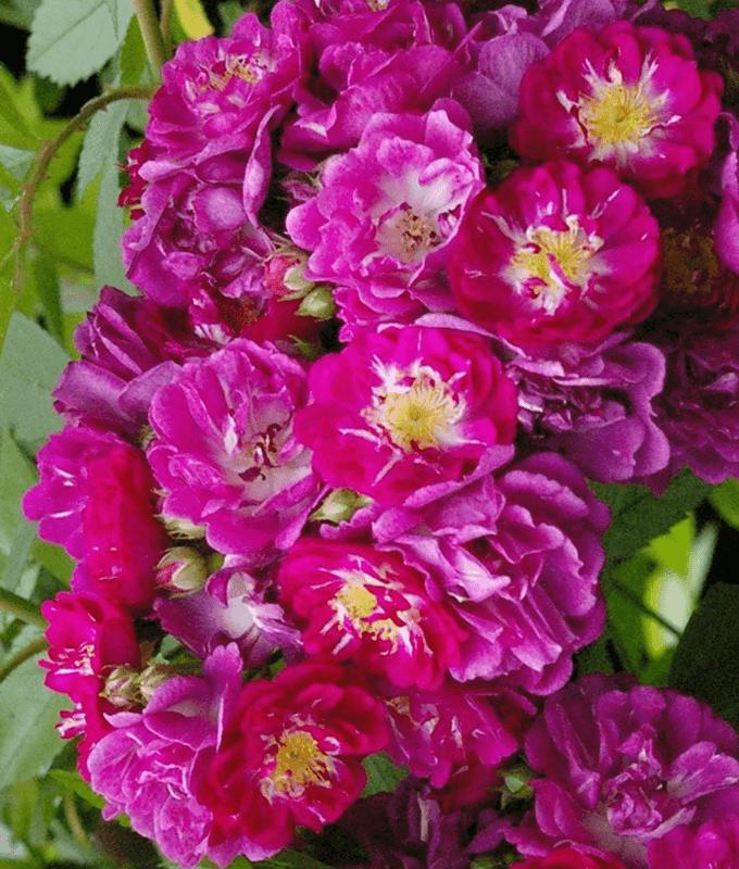 Роза Перенниал Блю (Perennial Blue) купить, недорого, отзывы