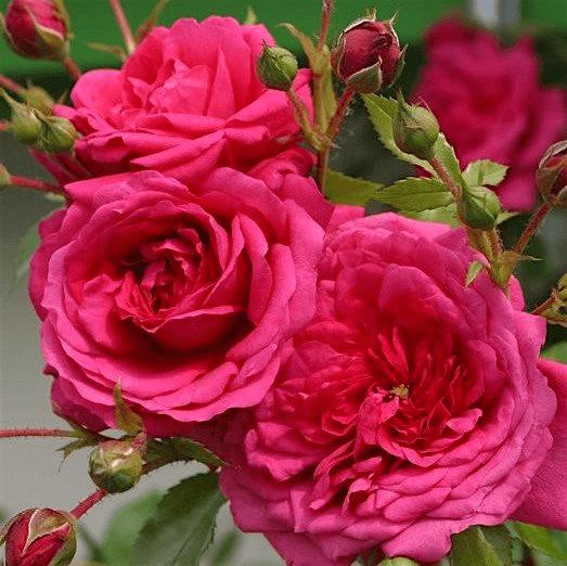 Роза Лагуна (Laguna) купить, недорого, отзывы