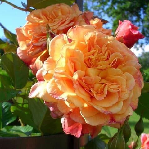 Роза Алоха Гавайи (Aloha Hawaii) купить, недорого, отзывы