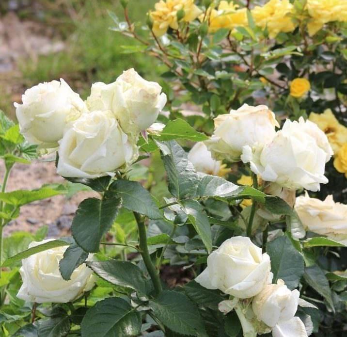Роза Эдванс (Advance) купить, недорого, отзывы