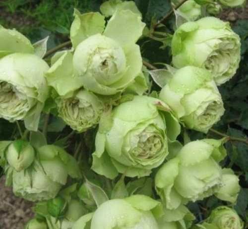 Роза Лавли Грин (Lovely Green) купить, недорого, отзывы