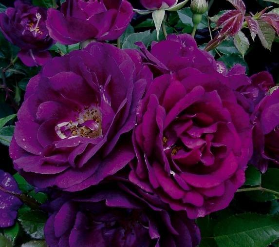 Роза Роял Селебрейшн (Royal Celebration) купить, недорого, отзывы