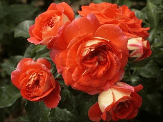 Роза Братья Гримм (Gebruder Grimm) купить, недорого, отзывы