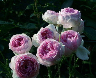 Роза Везалиус (Vesalius) купить, недорого, отзывы