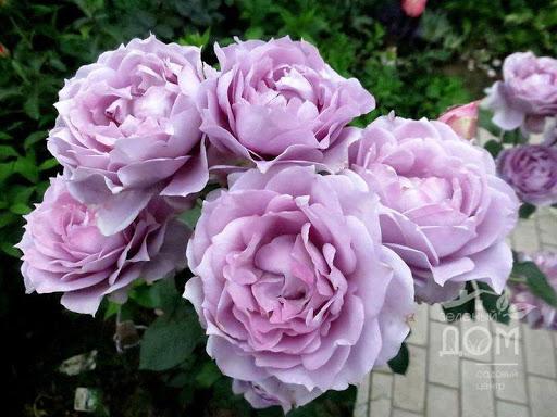 Роза Новалис (Novalis) купить, недорого, отзывы