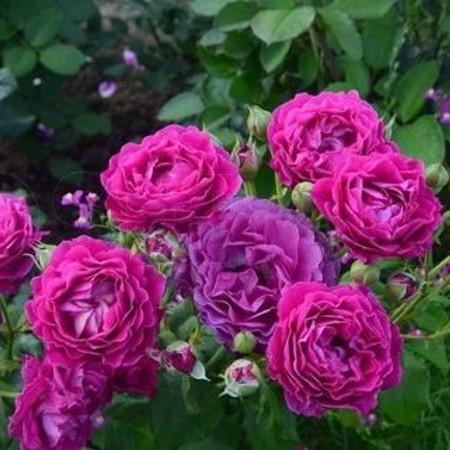 Роза Блю Эден  (Blue Eden) купить, недорого, отзывы