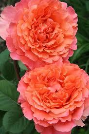 Роза Этруска (Etrusca) купить, недорого, отзывы