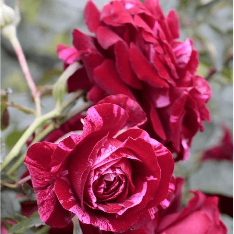 Роза Дип Импрешн (Deep Impression) купить, недорого, отзывы