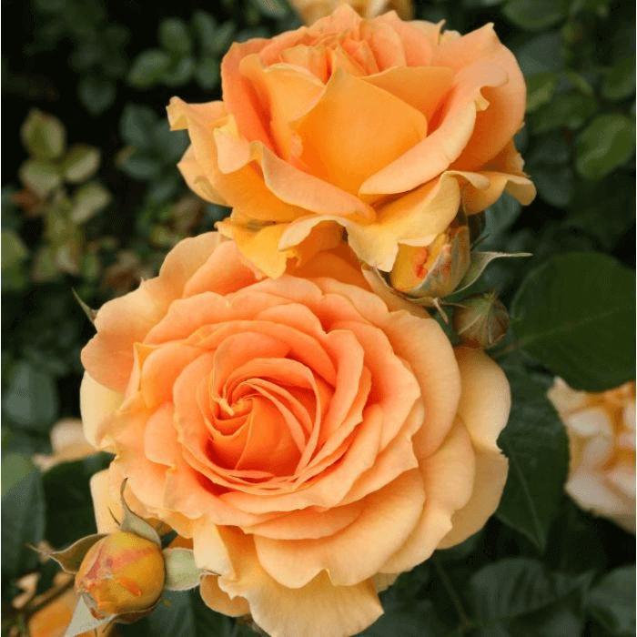 Роза Голд Эльзе (Goldelse) купить, недорого, отзывы