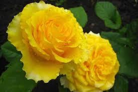 Роза Сфинкс (Sphinx) купить, недорого, отзывы