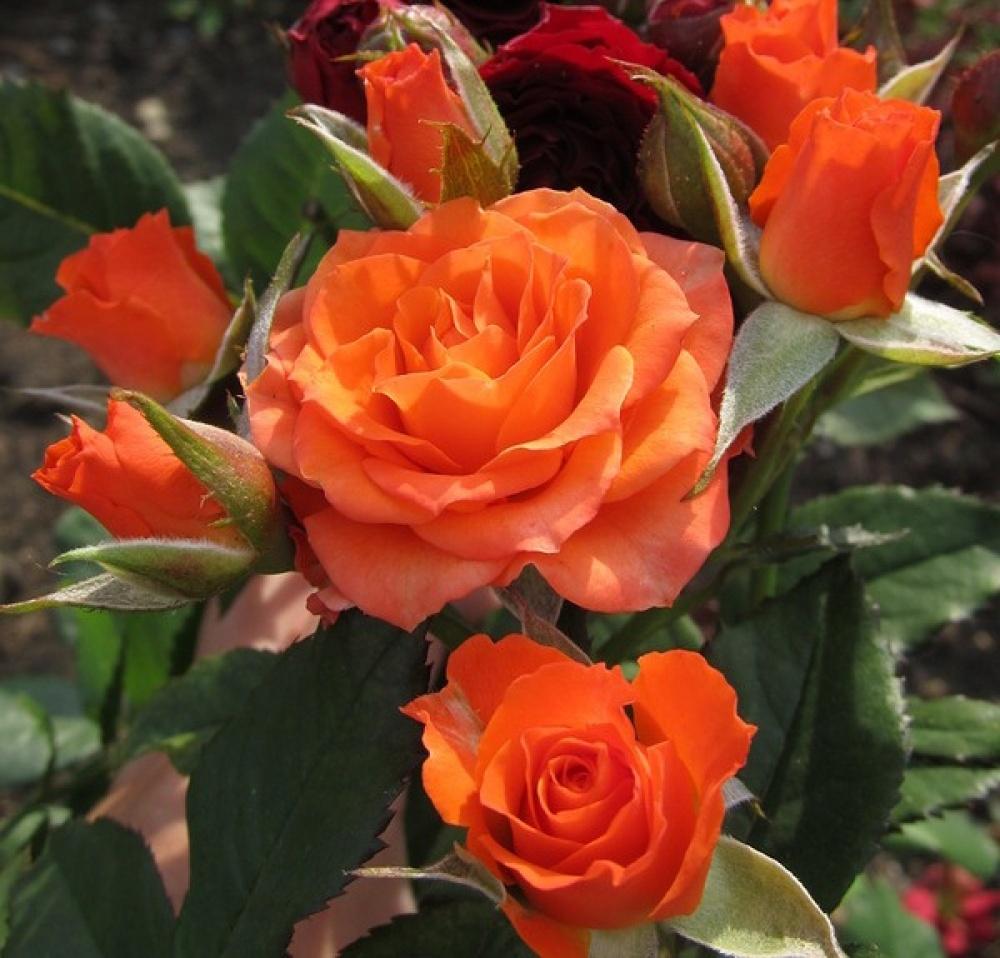 Роза Алегрия (Alegria) купить, недорого, отзывы