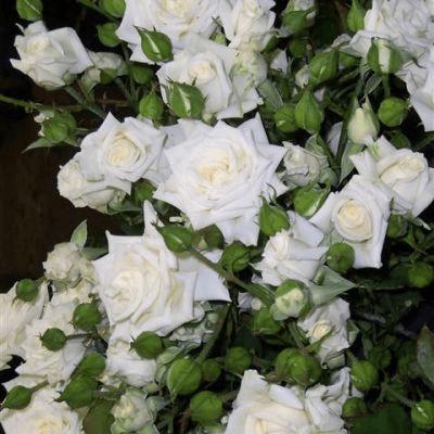 Роза Сноу Дэнс (Snow Dance) купить, недорого, отзывы