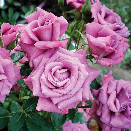 Роза Лавендер Мейландина (Lavender Meillandina) купить, недорого, отзывы