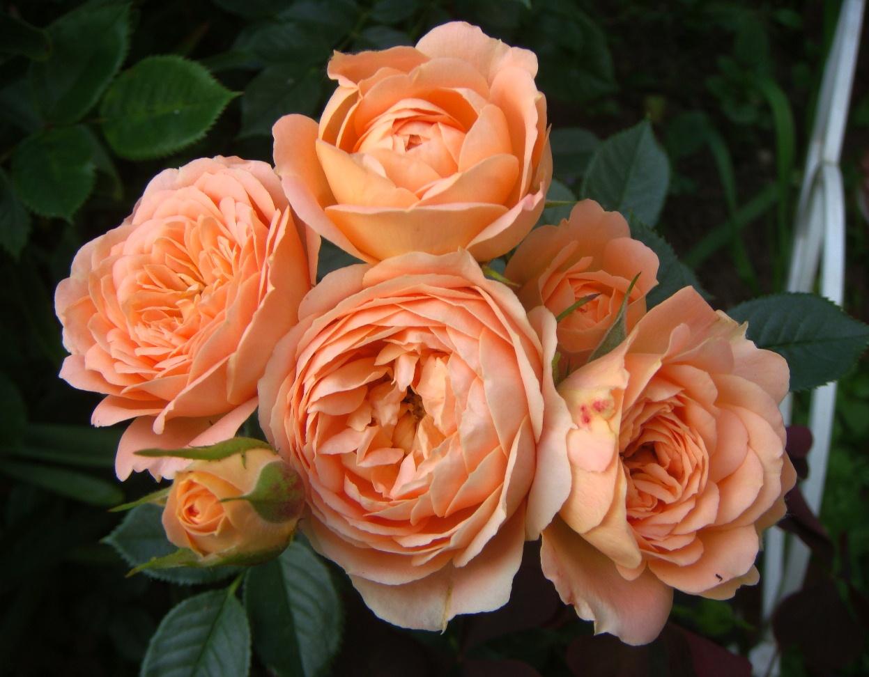 Роза Свит Дрим (Sweet Dream) купить, недорого, отзывы