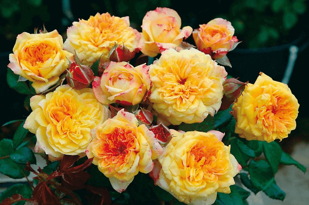 Роза Жорж Данжан (Georges Denjean) купить, недорого, отзывы