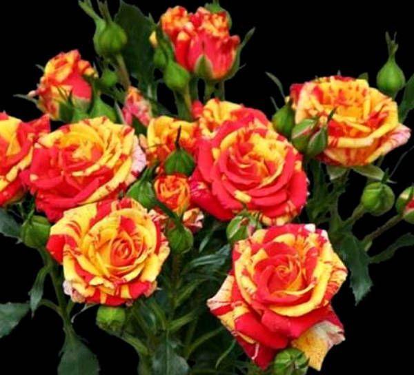 Роза Фаэр Флэш (Fire Flash) купить, недорого, отзывы