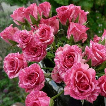 Роза Пинк Флэш (Pink Flash) купить, недорого, отзывы