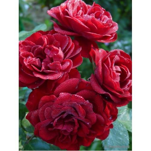Роза Лава Глоу (Lavaglut) купить, недорого, отзывы