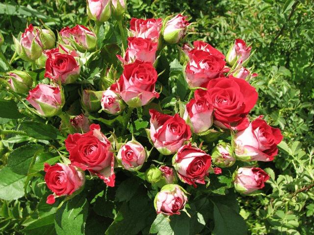 Роза Руби Стар (Ruby Star) купить, недорого, отзывы