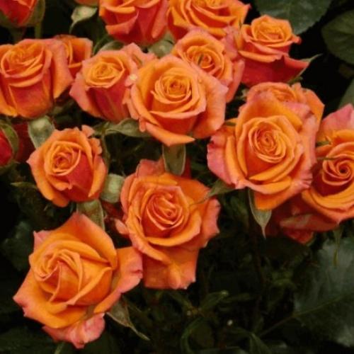 Роза Оранж Беби  (Orange Baby) купить, недорого, отзывы