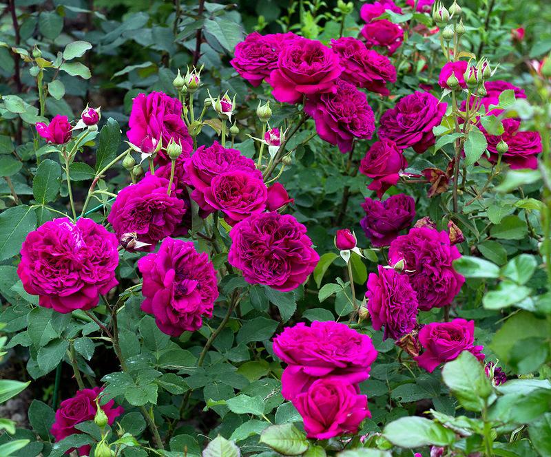 Роза Черчилль(The Churchill Rose) купить, недорого, отзывы