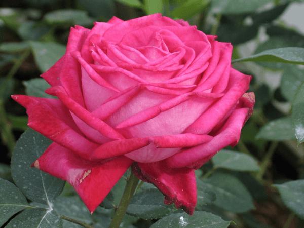 Роза Винтаж (Vintage) купить, недорого, отзывы