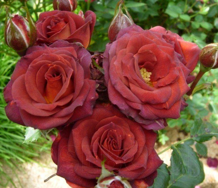 Роза Чокочино (Chococcino) купить, недорого, отзывы