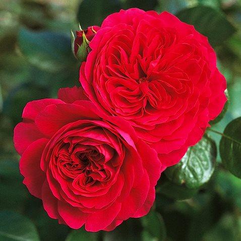 Роза Ред Леонардо да Винчи (Red Leonardo da Vinci) купить, недорого, отзывы